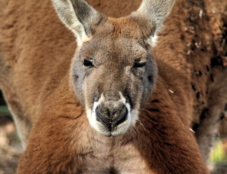 red kangaroo von michael meijer