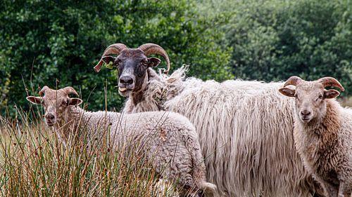 Schaf streckt die Zunge heraus.