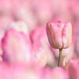 Tulipes roses sur Catstye Cam / Corine van Kapel Photography