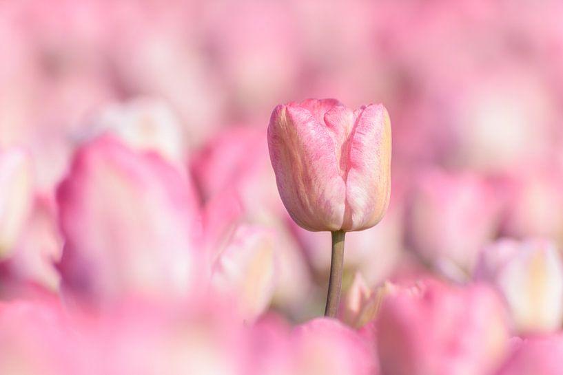 Roze Tulp van Catstye Cam / Corine van Kapel Photography