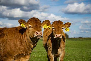 Nieuwsgierige koeien van Shoot2Capture2
