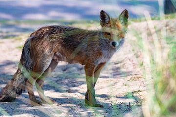 Fuchs hinter dem Gras von Merijn Loch