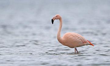 Flamingo in het Grevelingenmeer van Michel de Beer