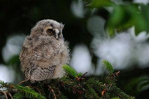 Waldohreule ( Asio otus ), Jungvogel, Ästling in einem Nadelbaum, wildlife, Europa.
