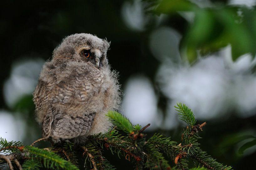 Waldohreule ( Asio otus ), Jungvogel, Ästling in einem Nadelbaum, wildlife, Europa. von wunderbare Erde