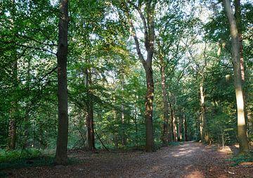 Eikenlaan in het bos van Wim vd Neut