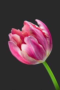 Deze tulp is stoer! van