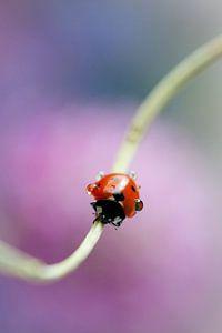Lieveheersbeestje op bloemsteel