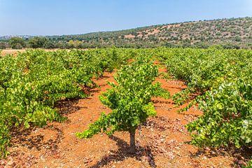 Reihen von Traubenpflanzen im Weinberg mit Berg in der Algarve Portugal von Ben Schonewille
