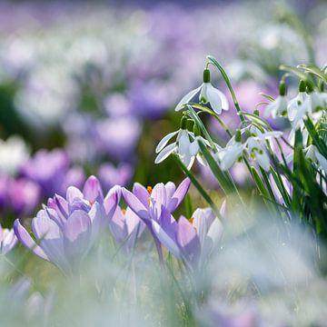 Le printemps avec ses crocus et ses perce-neige sur Karla Leeftink
