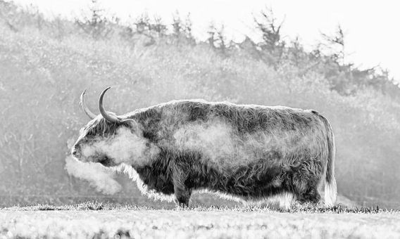 Schotse Hooglander in de vrieskou op Texel.