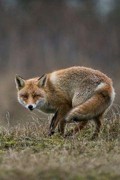 Vos, Fuchs, Rotfuchs, Red Fox, *Vulpes vulpes* von wunderbare Erde