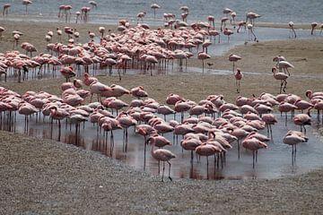 Flamingo kolonie van Erna Haarsma-Hoogterp