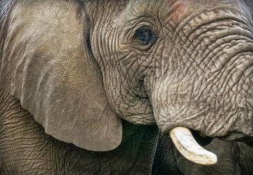 Leiter der Elefanten  von Marcel van Balken