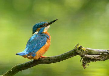 IJsvogel pose von Remco Van Daalen