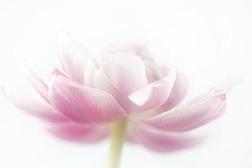 Tulpe rosa Dame von natascha verbij