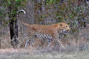 Leopard, Krüger-Nationalpark, Südafrika von Reisverslaafd