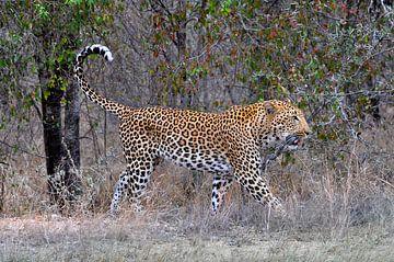 Leopard, Krüger-Nationalpark, Südafrika