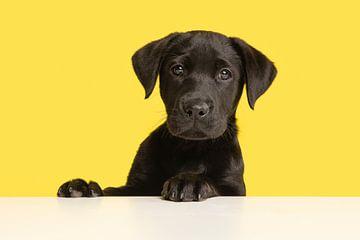 Porträt eines Labrador-Retriever-Welpen vor einem gelben Hintergrund von Elles Rijsdijk
