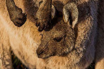 Kangoeroe jong in buidel van e pha