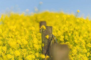 Gele raapzaad in de lente van Patrick Brinksma