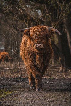 Schotse hooglander van Ivana Luijten