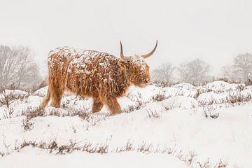 Schotse Hooglander in de sneeuw. van Albert Beukhof