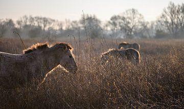 Konik-Pferde in Gold von Tania Perneel