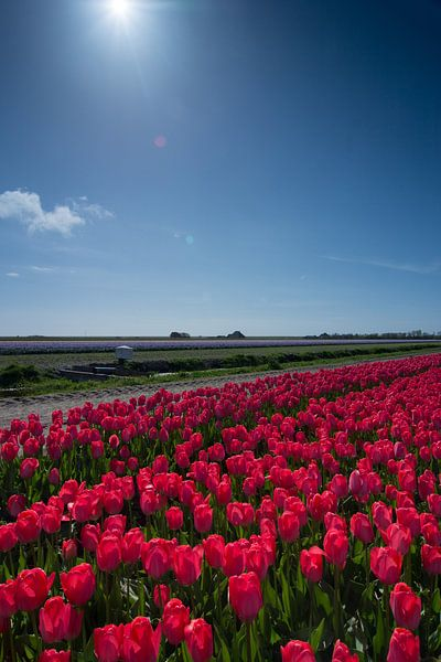 veld met rode tulpen