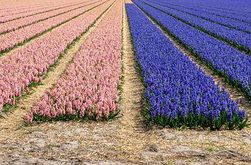 Zwiebelfeld mit zwei Farben von Hyazinthen von Henk Alblas