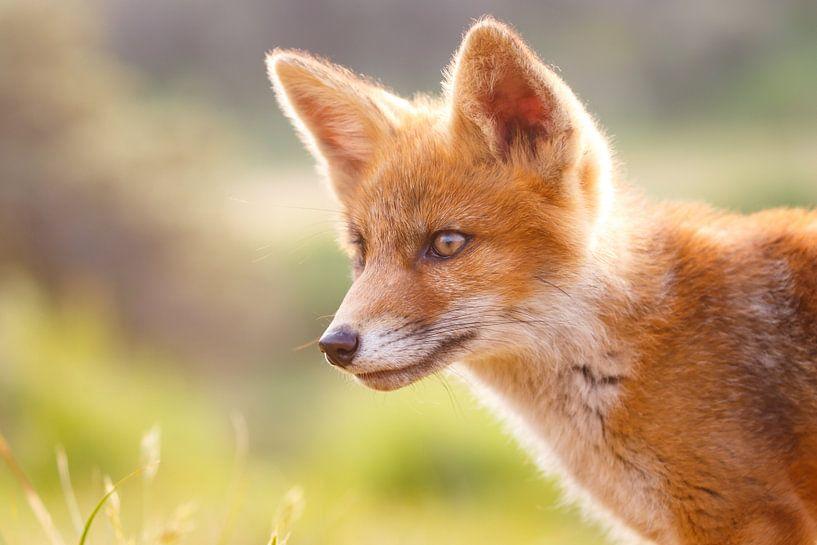 portret van een jonge vos van Pim Leijen