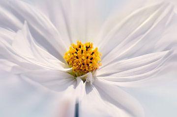Cosmea flower van