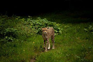 léopard sur Luc Sijbers