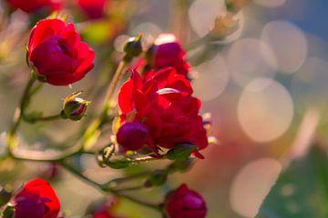 roses rouges ensoleillées sur