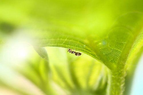 Ant van