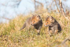 Vos | Twee nieuwsgierige jonge vosjes in de duinen van Servan Ott