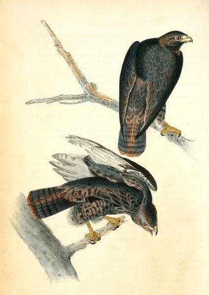 Harlan's Buzzard., Audubon, John James, 1785-1851, Buizerd van Liszt Collection