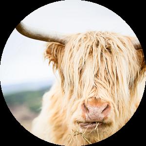 Portret van een Schotse Hooglander van Marloes van Pareren