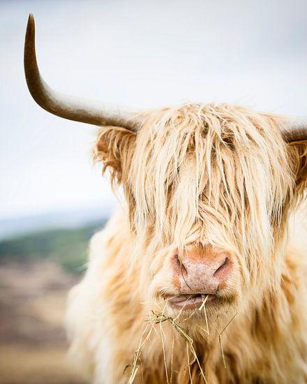 Portret van een Schotse Hooglander