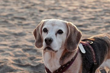 Beagle von Carole Winchester