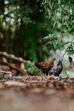 kippen van Huib Vintges