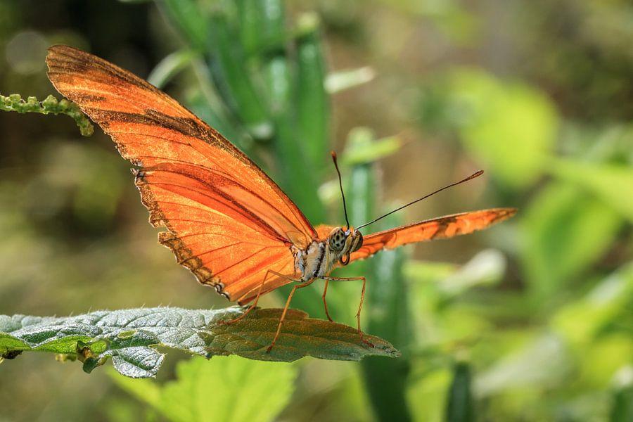 Oranje passiebloemvlinder van Tim Abeln