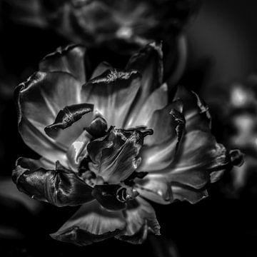 Uitgebloeide tulp, zwart/wit van