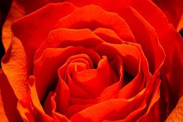 Rote Rose Nahaufnahme/Makroaufnahme von Julius Koster