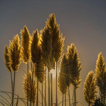 Pluimen in het tegenlicht en de zon als ster von Harrie Muis