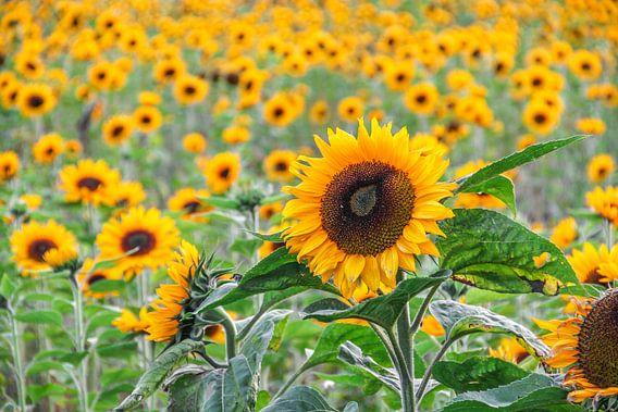 Zonnebloemen van Kees Korbee