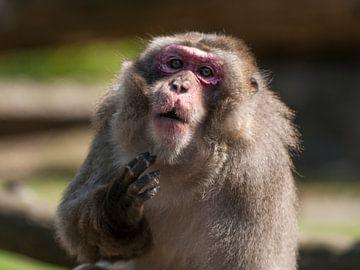 Japanischer Makake : Tierpark Amersfoort von Loek Lobel