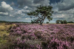 Heide in bloei Veluwe