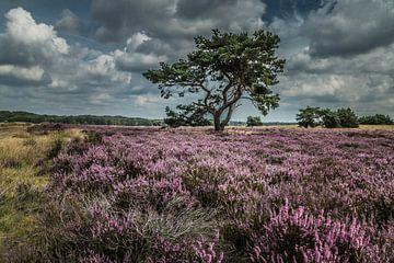 Heidekraut in Blüte Veluwe von Thomas Paardekooper