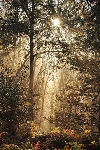 Mistige zonsopkomst in de Hollandse bossen